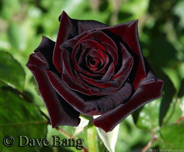 die besten 25 einzelne rote rose ideen auf pinterest. Black Bedroom Furniture Sets. Home Design Ideas