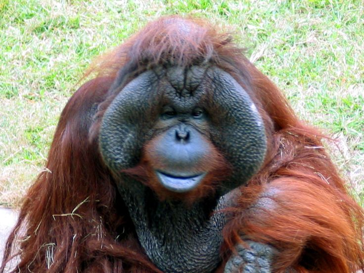 A great Orangutan i had a quick chat with one sunny day.