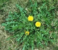 Dandelion Blossom Syrup - This is a traditional recipe passed down from the old world Europeans. Use it as a substitute for honey.