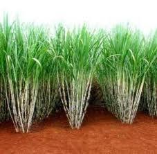 09 - CAÑA DE AZÚCAR 2 - La caña de azúcar suministra, en primer lugar, sacarosa para azúcar blanco o moreno. También tiene aproximadamente 40 kg - tm de melaza (materia prima para la fabricación del ron. También se pueden sacar unos 150 kg - tm de bagazo. Hay otros aprovechamientos de mucha menor importancia como los compost agrícolas, vinazas, ceras, fibra absorbente, etc.