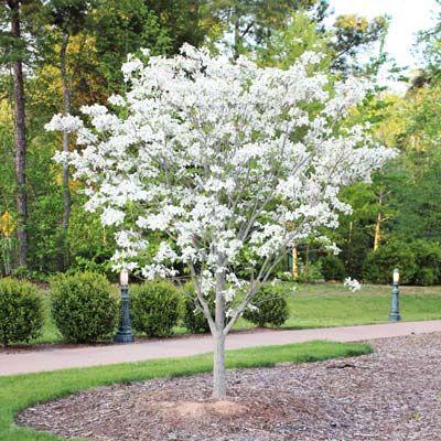 Nice White Dogwood Tree   Cornus Florida For Sale   Brighter Blooms Nursery