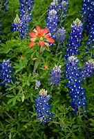 Image result for Blue Wildflowers