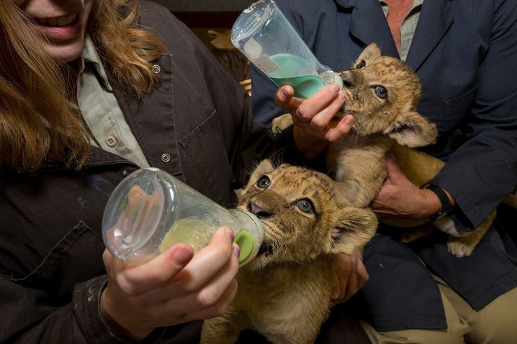 Most Adorable Lion Cubs From the San Diego Zoo Safari Park