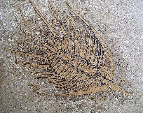 Trilobite Medium Fossil Stencil See more Fossil stencils: http://www.cuttingedgestencils.com/fossil-stencils-fossils-wall-stencils.html
