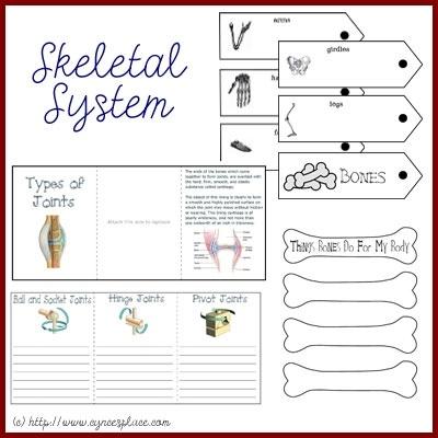 Anatomy Lapbook  The Skeletal System coordinates with Apologia Anatomy
