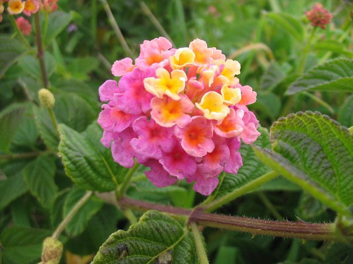 Top 10 Garden Flowers That Require Almost No Maintenance Types Of Flowers Lantana Lantana Camara