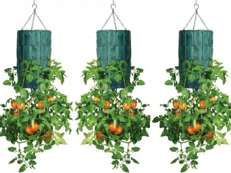 Cómo cultivar tomates al revés en botellas de plástico - Taringa!