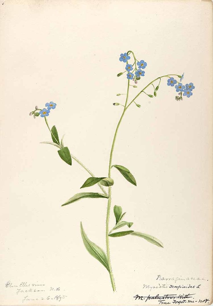 25 Best Forget Me Nots Images On Pinterest Drawing