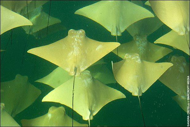 Mass Migration of Golden Stingrays