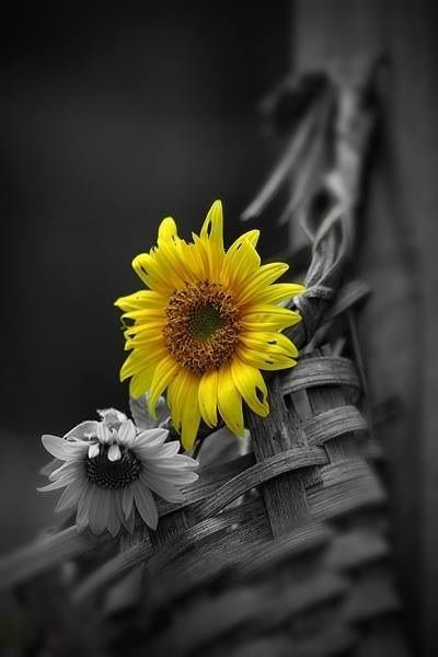Mother always grew the most beautiful sunflowers that grew so high it seemed they would touch the sky