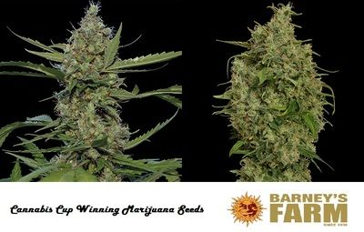 Cannabis Cup Winning Seeds from Barney Farm Seed Bank from Holland. See more about this Award Winning Seed bank at http://www.marijuanaplant.xyz/marijuana-seeds/barney-farm-seeds