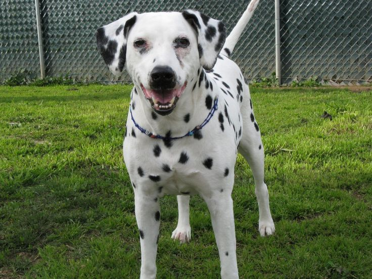 Best 25 Raza de perro dalmata ideas on Pinterest  Cachorros de
