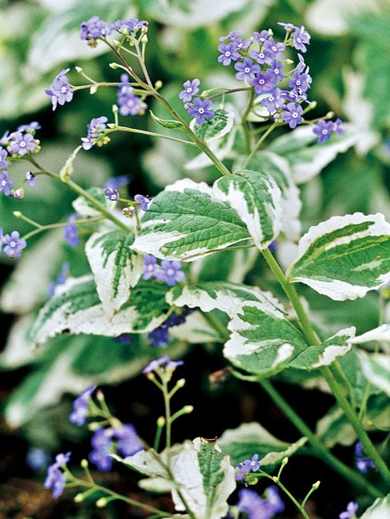 Brunnera with variegated leaves - zone 2Brunnera Shad, Blue Flowers, Brunnera Macrophylla, Shades Plants, Shade Perennials, Shades Perennials, Shades Gardens, Shade Plants, Jack Frostings