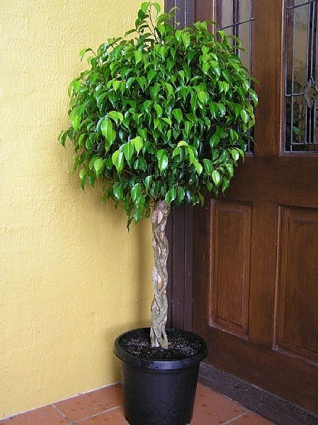 "How to Care for Ficus Benjamina, ""Weeping Fig"""