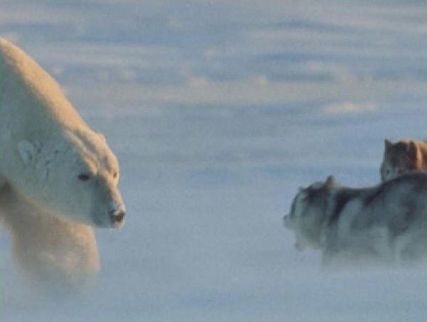 Beruang Kutub http://evobig.blogspot.com/2012/08/bila-beruang-kutub-bertemu-anjing.html