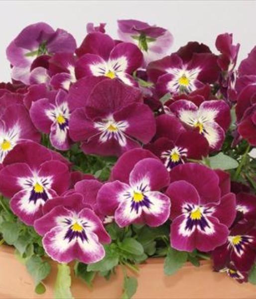 цветы виола фото: 23 тыс изображений найдено в Яндекс.Картинках