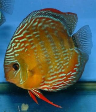 72 best new 90 gallon tank plan images on pinterest for Best place to buy discus fish