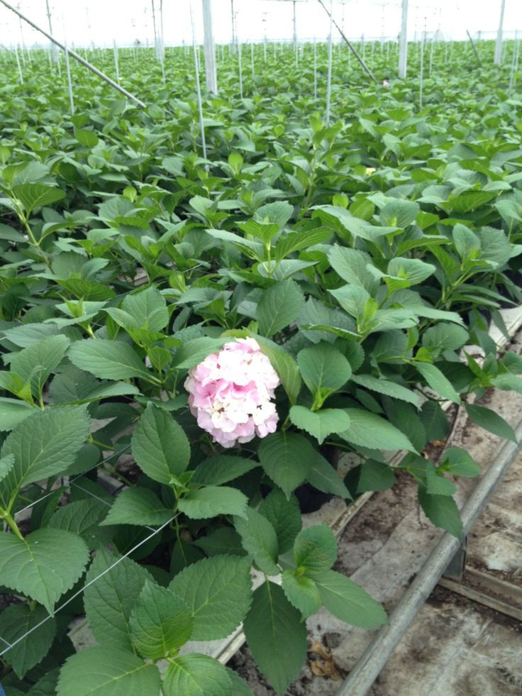 June 15/2014  Hydrangea Vendetta section in our greenhouse. In a few weeks ready for the auction #FloraHolland Aalsmeer. By Rob van Mastwijk