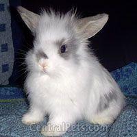 Lion Head rabbit..... how cute!