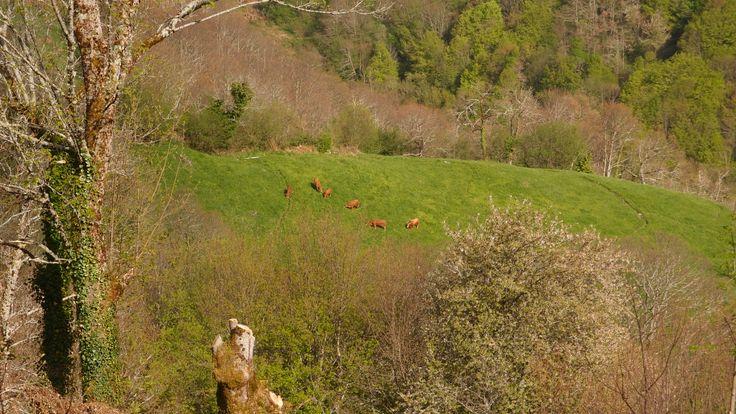 As vacas galegas sonche alpinistas ;)