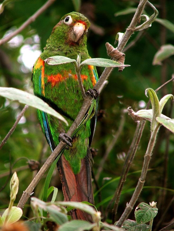 Santa Marta Parakeet -El Dorado  By ProAves Colombia