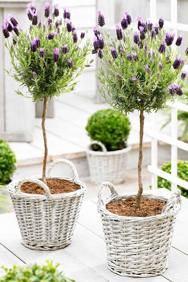 Simple Pretty Lavender Topiaries