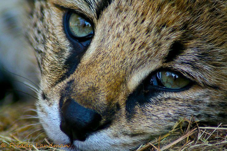 Through a Servals eye by Freddy Landman on 500px