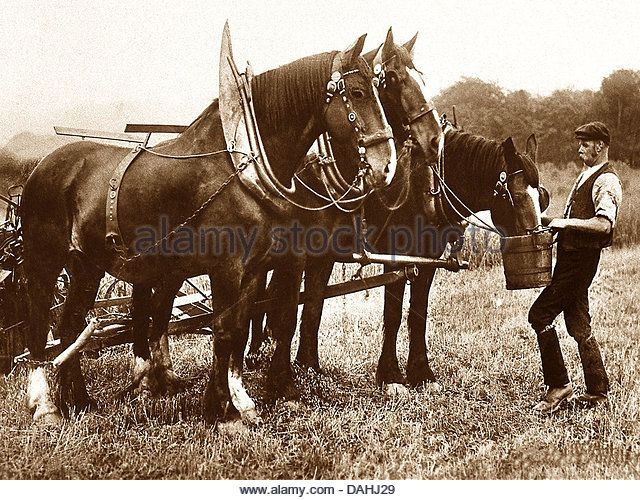 Shire Horses early 1900s - Stock Image