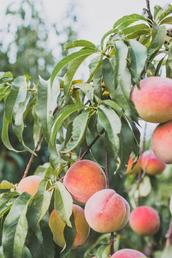 A visit to a working farm and peach orchard in Georgia