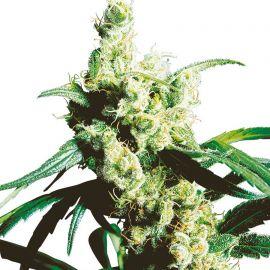 Silver Haze - strain - Sensi Seeds   Cannapedia
