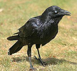El cuervo de Mellor (Corvus mellori) es una especie de ave de la familia Corvidae, que es endémica de Australia. Su plumaje, pico y patas son negros, su iris es blanco. Sus plumas negras poseen bases color gris.