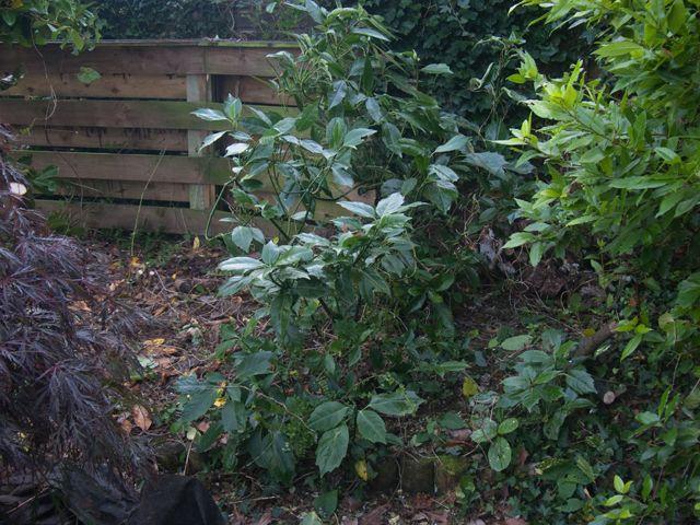 aucuba japonica crassifolia evergreen shrub for full shade plain dark green leaves. Black Bedroom Furniture Sets. Home Design Ideas