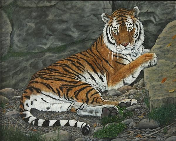Tiger resting 16 x 20 oil on canvas