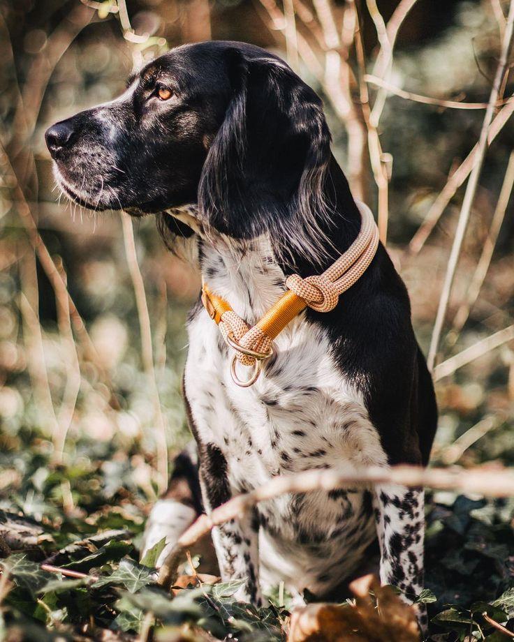 "isartau på Instagram: ""Amazing @wildwildmax 🙌 www.isartau.de - munichmade dog leashes | manufactured with love #isartau #cockerspaniel #cockermix #beagle…"""