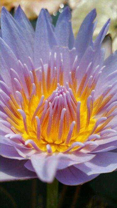 Glowing lotus pollen