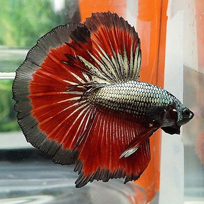1000 ideas about betta fish on pinterest betta live for What fish can live with bettas