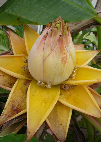 17 best images about musa on pinterest banana plants. Black Bedroom Furniture Sets. Home Design Ideas