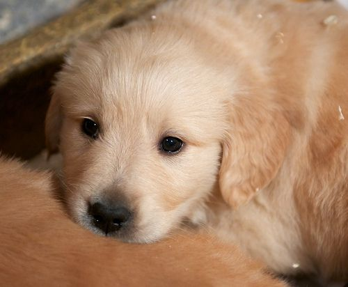 Golden+Retriever+Puppies
