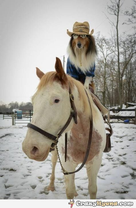 This+is+the+most+stylish+ranger+in+dog+history.+Funny+picture+of+a+dog+with+long+mane,+mirror+sunglasses+and+a+cowboy+hat+on+a+horse.