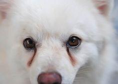 Remèdes maisoncontre les taches des larmes sous les yeux du chien Les chiens ayant unlong museau comme lescaniches et lescockers etles races de chiens ayant unmuseau court comme les pékinois et les maltais sont plus enclins à avoirdes taches de larmes. Ces taches rouges sombres ou marron, si ellesne peuvent pas nuire à la santé …