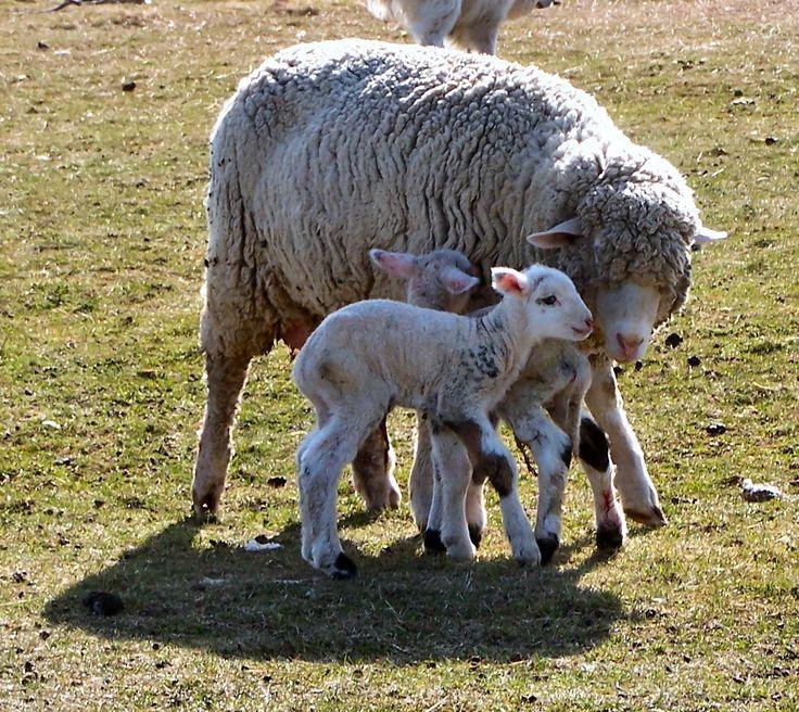 Targhee Sheep image targheetwins418a for term side of