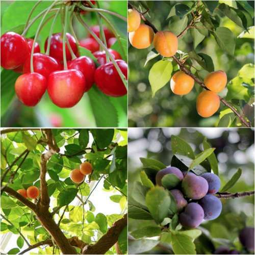 8 Fruit Trees For Your Deck Or Balcony