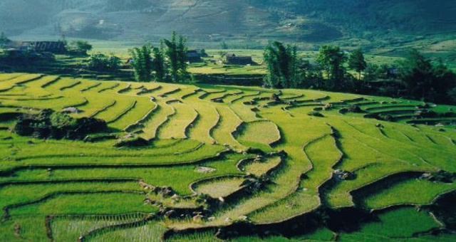 Big area of rice paddy field is a very romantic picture for tourists here