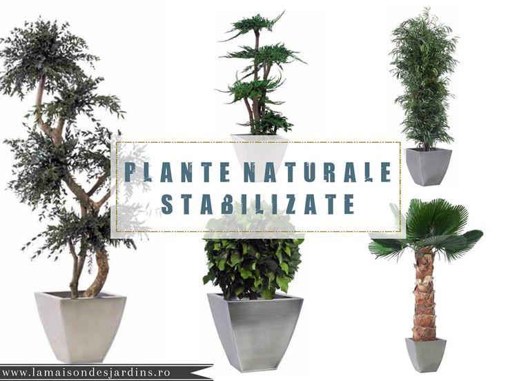 Plantele prezervate sunt 100% naturale si ecologice, obtinute printr-un proces unic de conservare ce consta in inlocuirea sevei cu un stabilizator, proces ce ofera plantelor o prospetime naturala pentru o vreme indelungata, fara a avea nevoie de ingrijiri speciale. #plante #naturale #stabilizate #natura #preserved #gardencenter #preserved #plants #trees #flowers #palm trees #roses #juniperus #bonsai #lamaisondesjardins www.lamaisondesjardins.ro www.naturapreserved.com