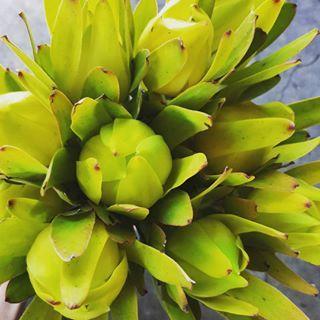 Lemon lime leucadendron