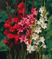 Google Image Result for http://www.naturehills.com/images/productImages/Watsonia_MixedColors.jpg