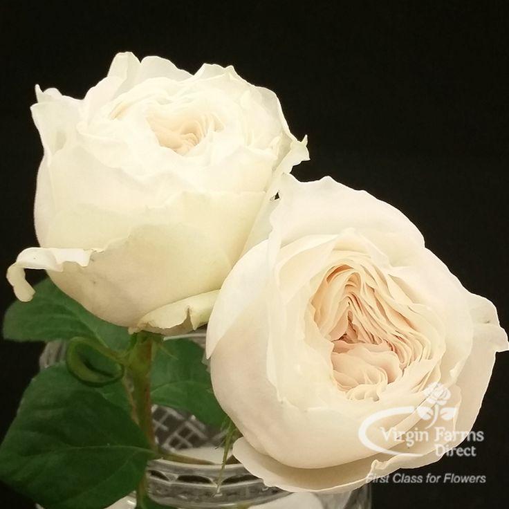 Cream Garden Rose 28 best garden roses images on pinterest | garden roses, flower