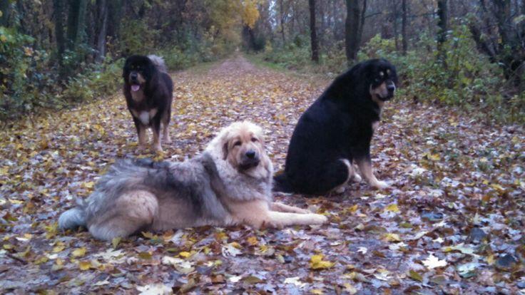 Tibetan Mastiff Dog Breed Information - American Kennel Club
