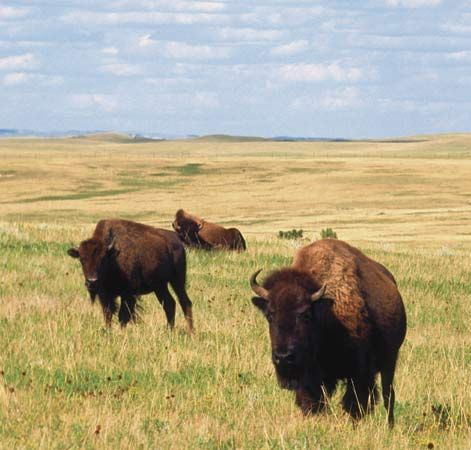 Teddy Roosevelt NP, North Dakota  Bison, Elk, Wild Horses, and Prairie Dogs oh my!