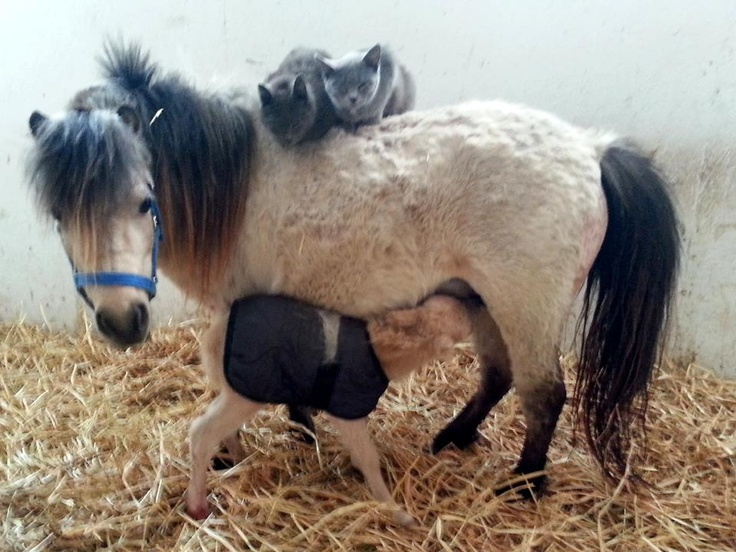 Best Miniature Horses Images On Pinterest Horses Hair And Horse - Adorable miniature horses provide those in need with love and care